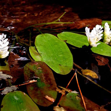 Cape pondweed (Aponogeton distachyos)