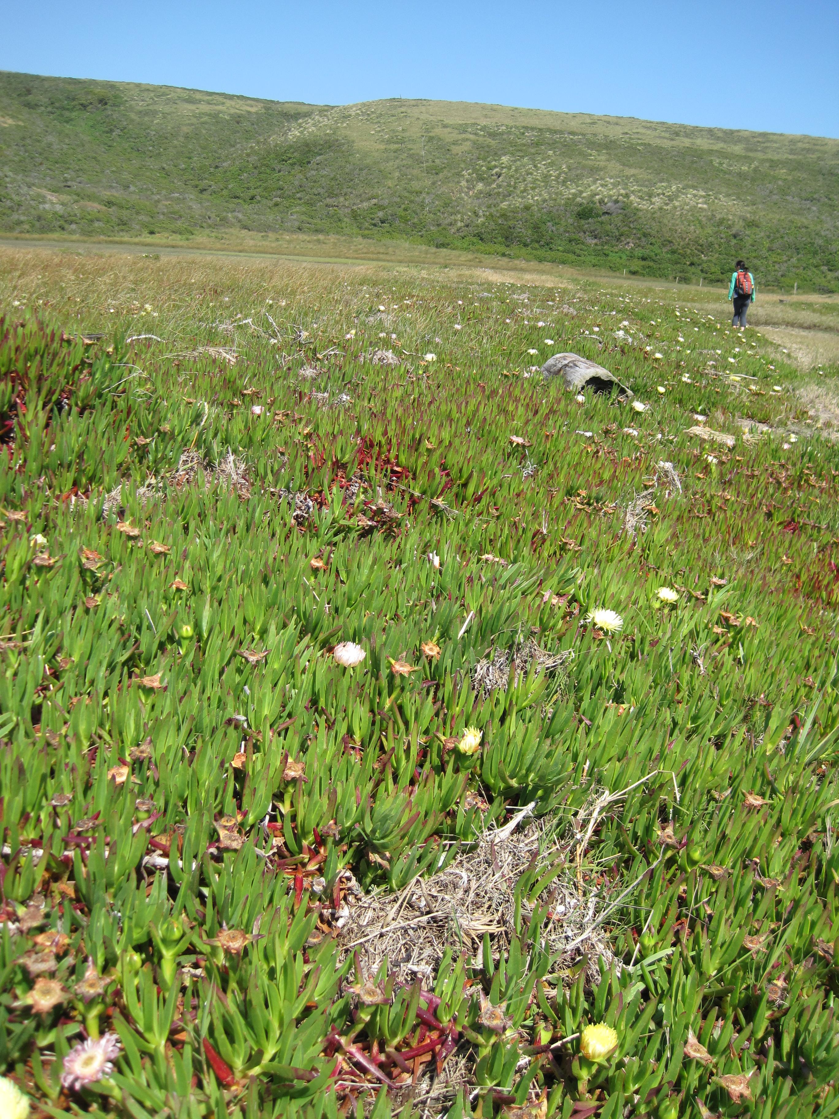 Highway iceplant (Carpobrotus edulis) invasion site Point Reyes