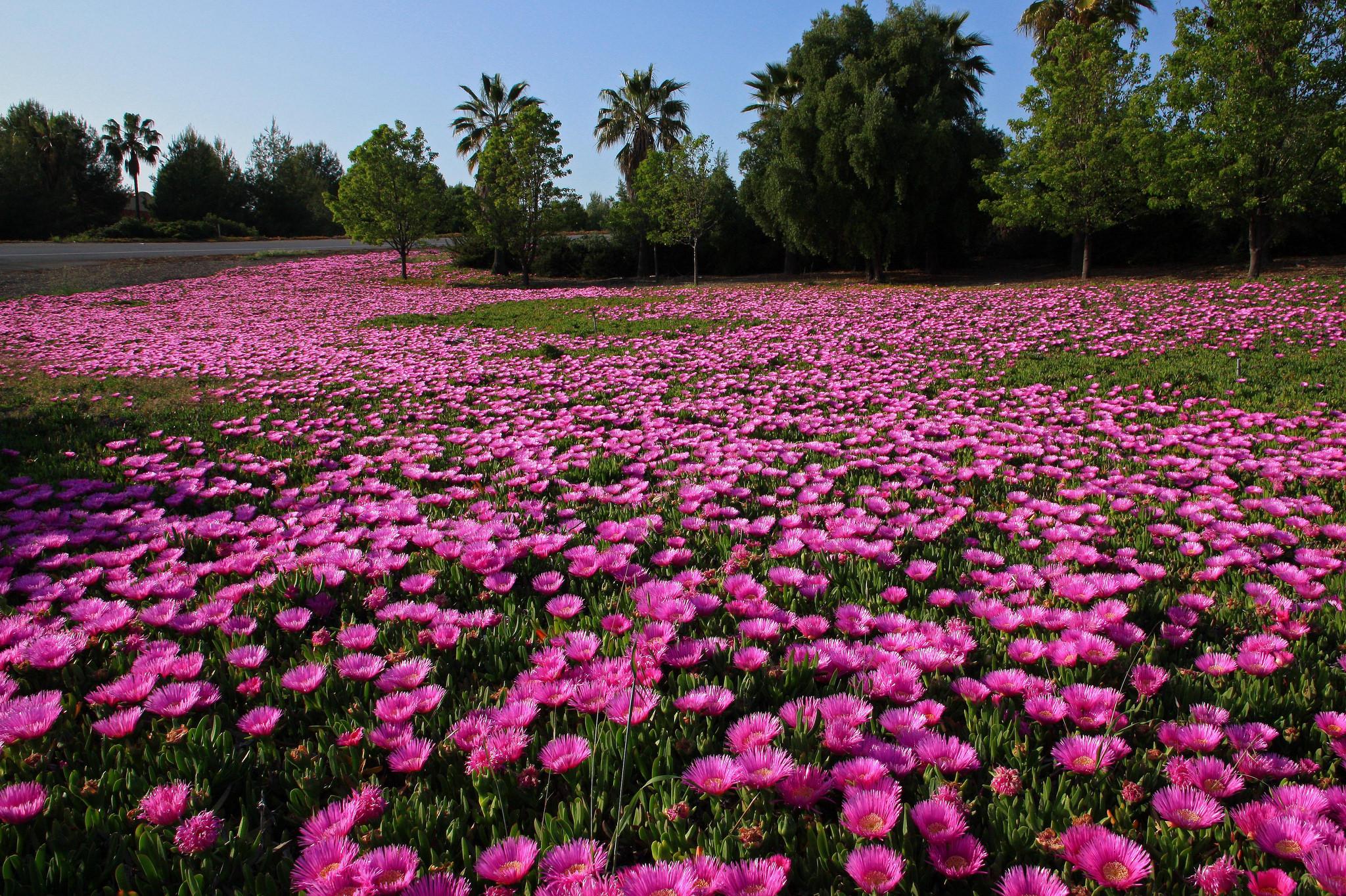 Highway iceplant (Carpobrotus edulis) in bloom along Highway 680 in Milpitas