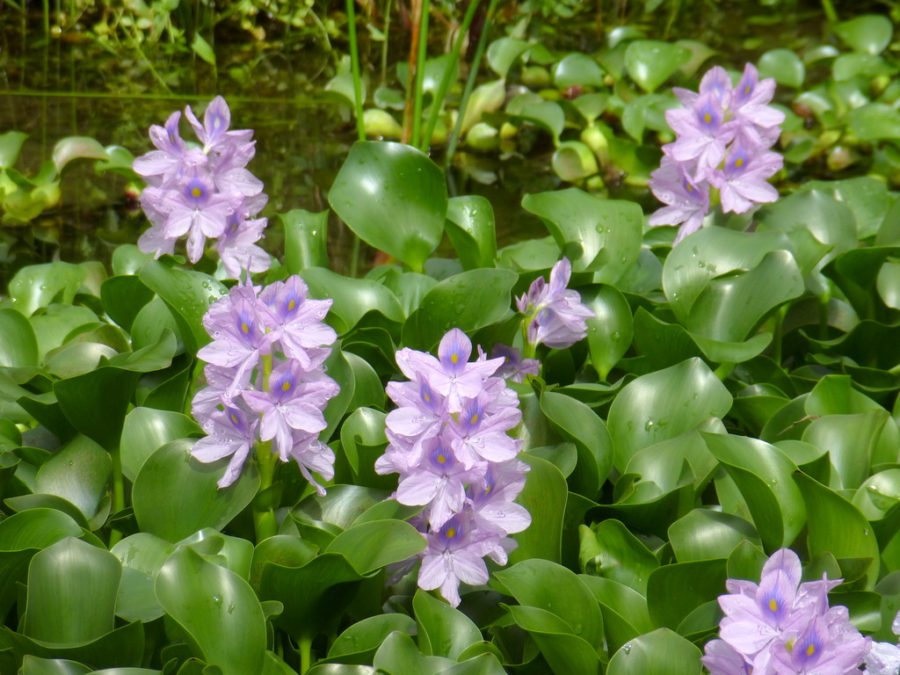 Water hyacinth (Eichhornia crassipes) close up with flowers