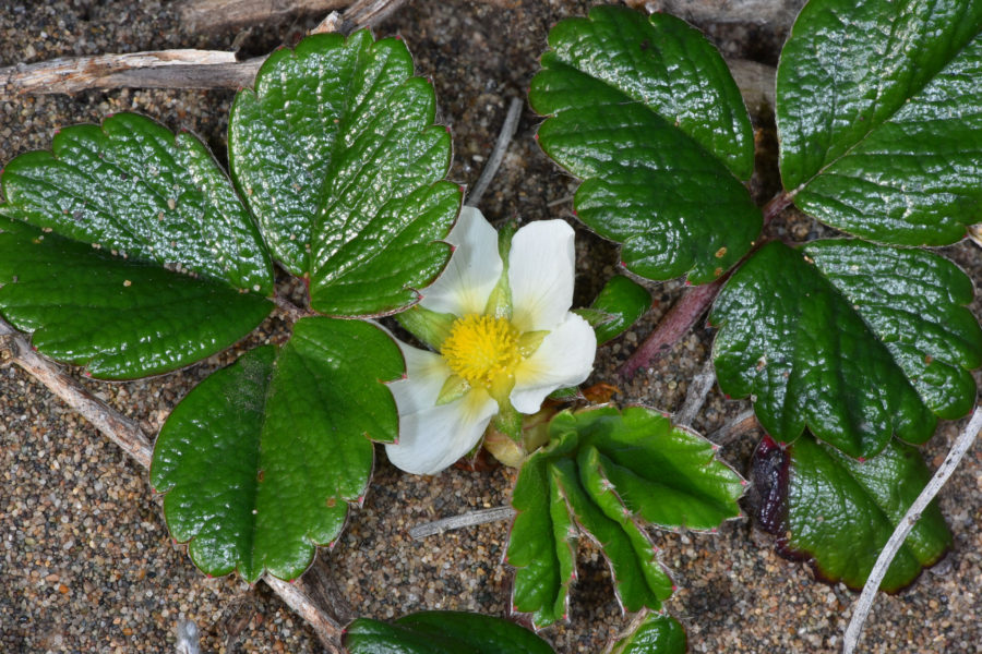 Beach strawberry (Fragaria chiloensis)