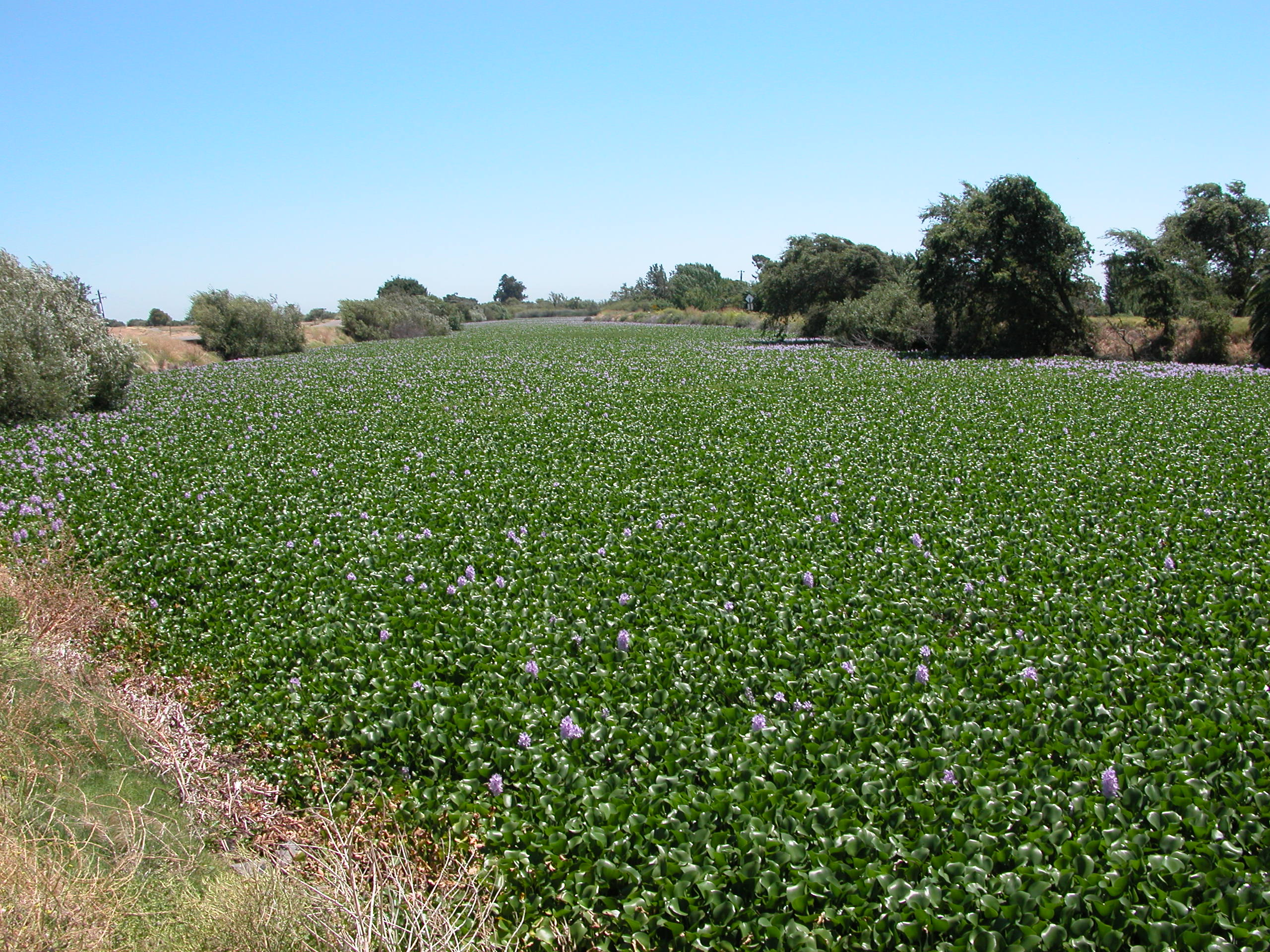 Water hyacinth (Eichhornia crassipes) in a slough covering the water