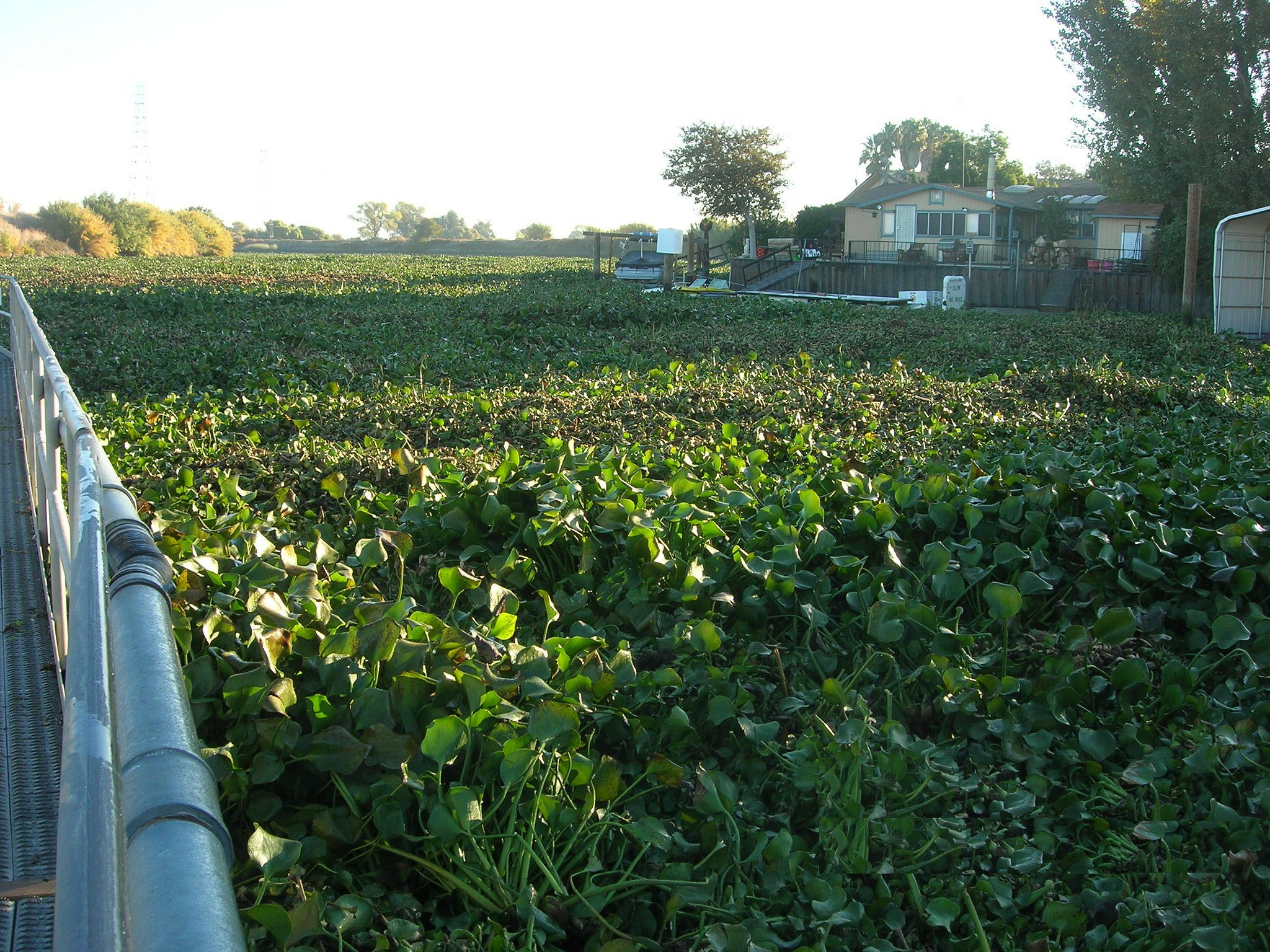 Water hyacinth (Eichhornia crassipes) in the San Joaquin River