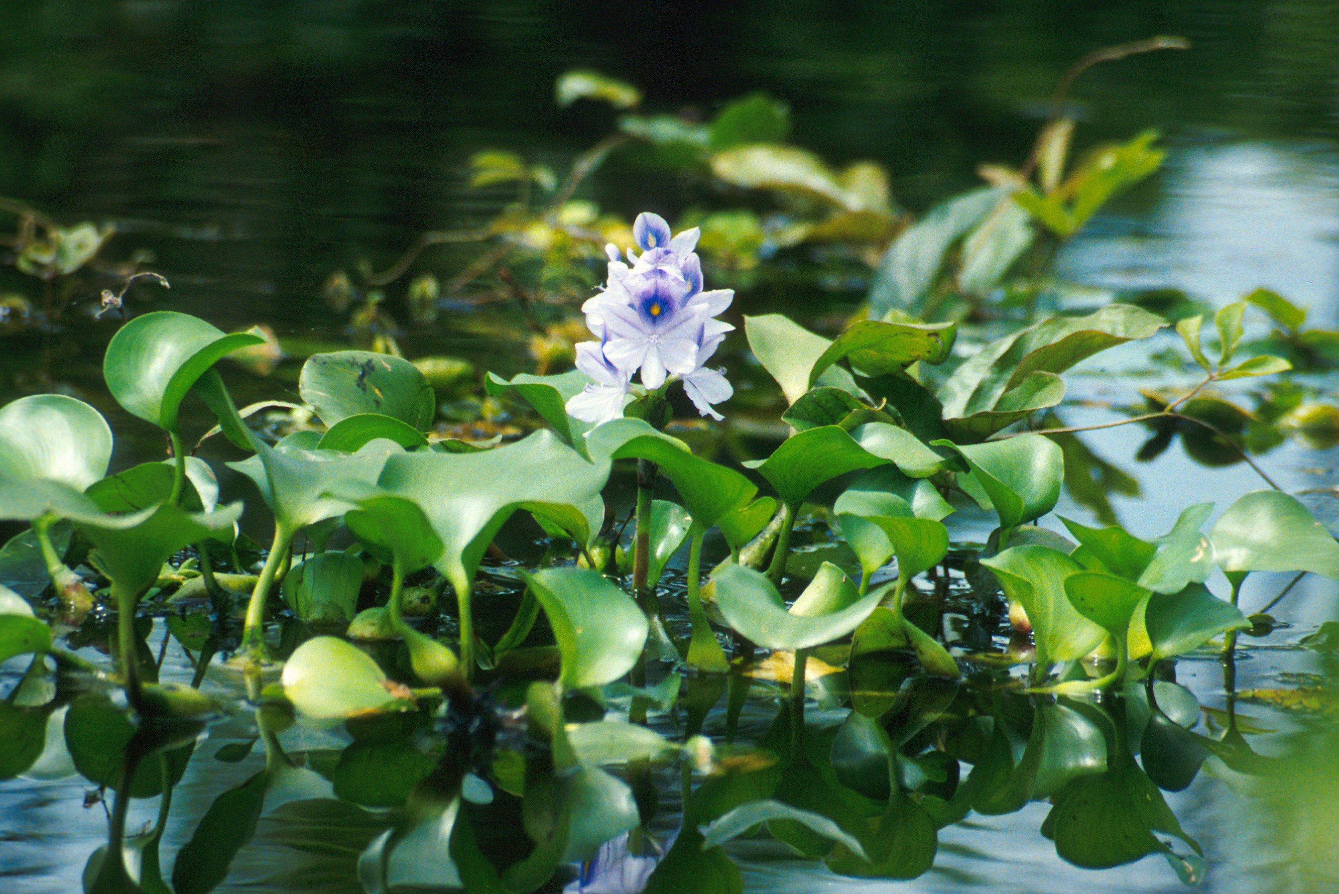 Water hyacinth (Eichhornia crassipes) close up with flower