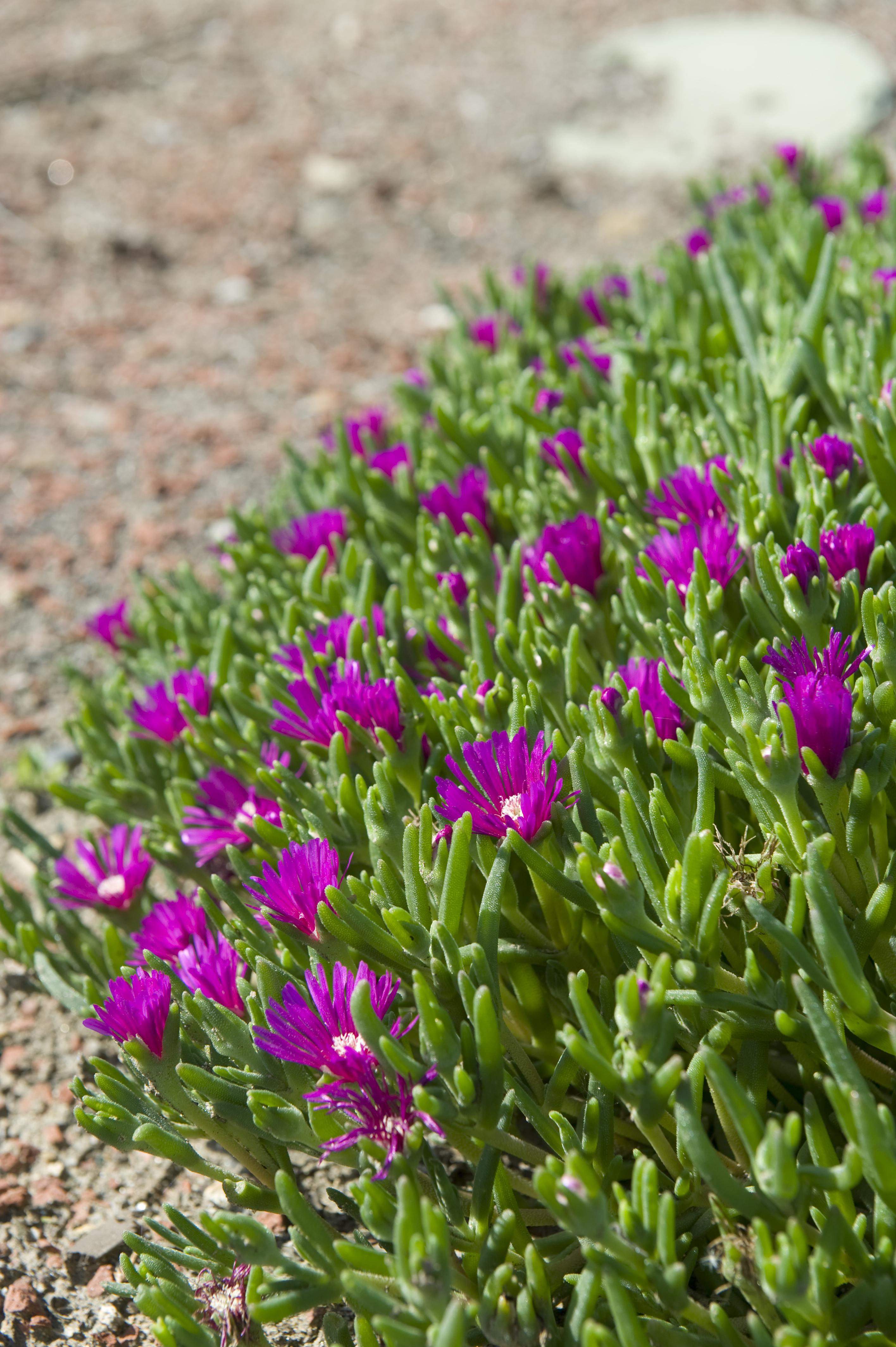 Delosperma Cooperi Plantright