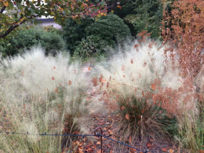 Muhlenbergia 'White Cloud'