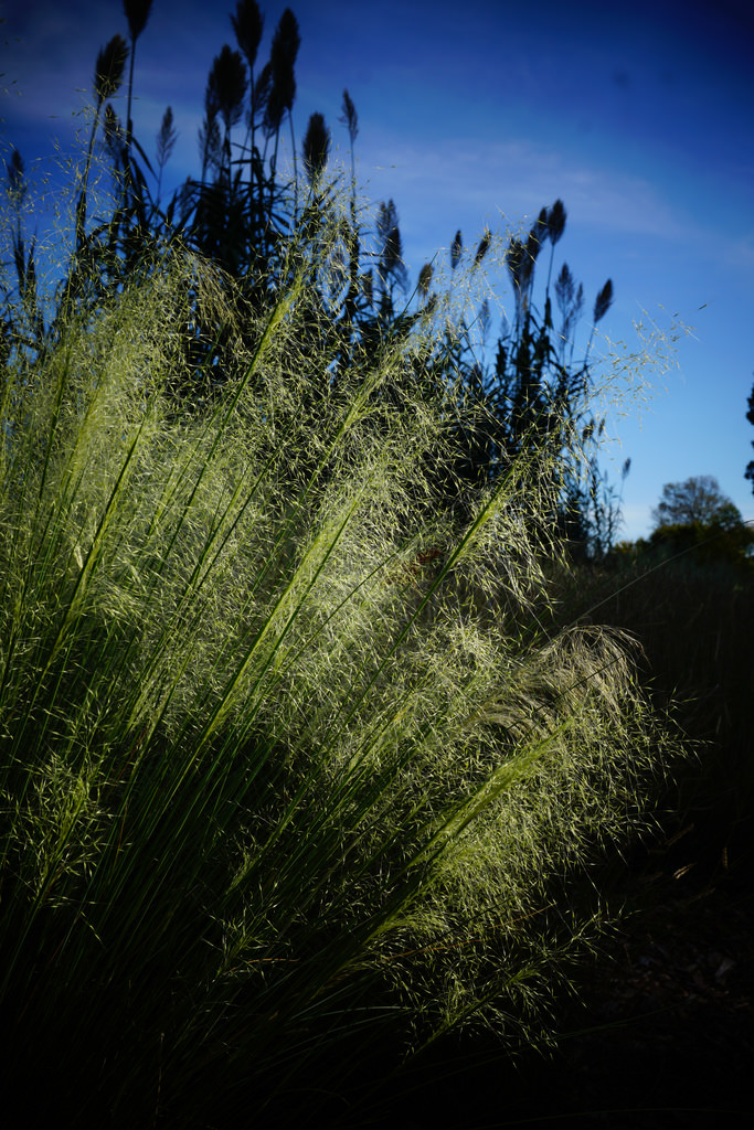 Muhlenbergia capillaris 'White Cloud'