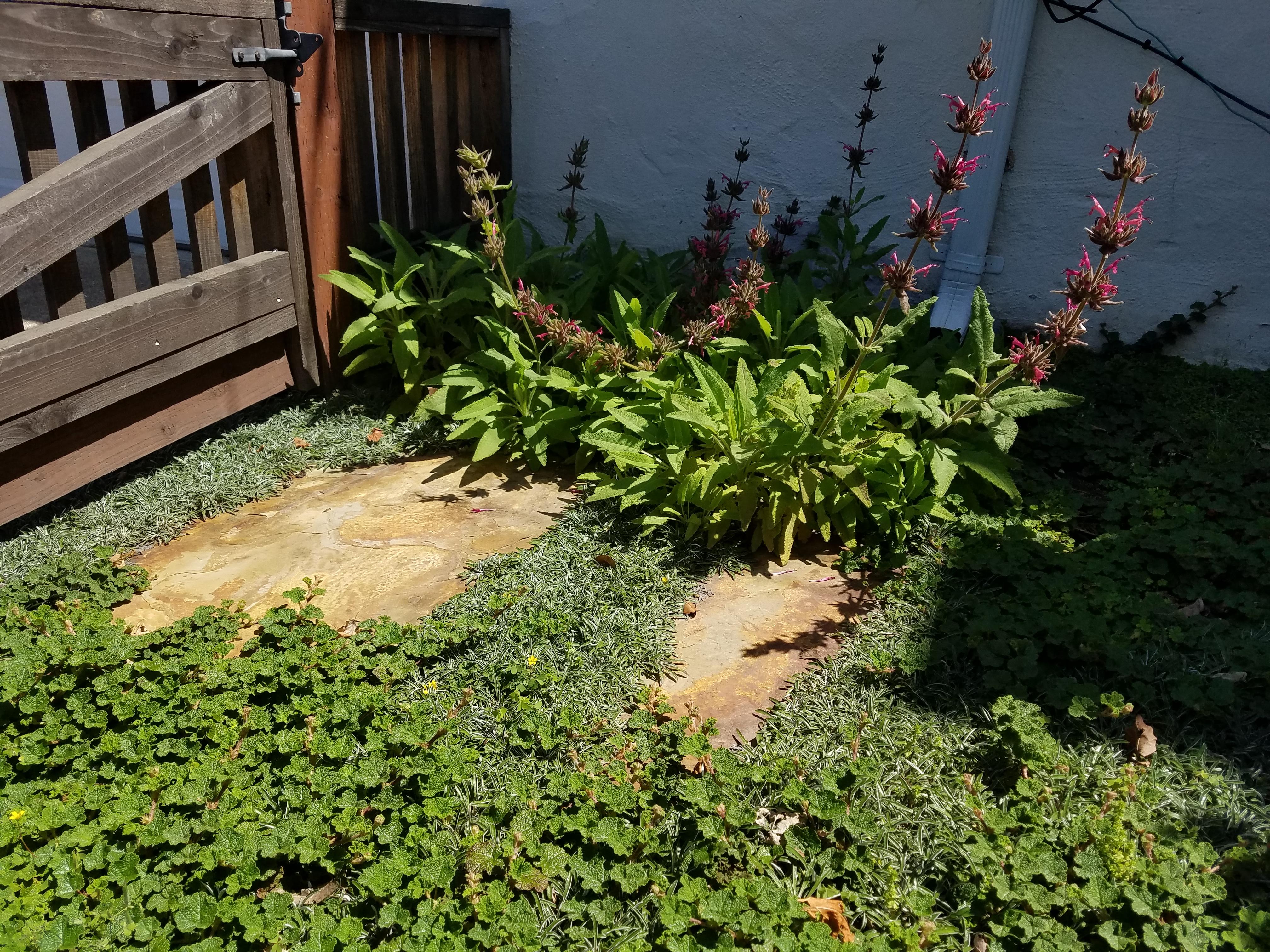 Dymondia margaretae, Salvia spathacea, Rubus pentalobus