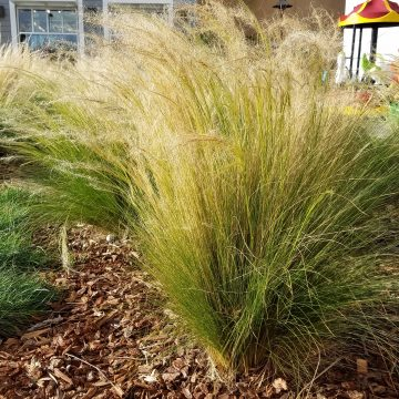 Stipa tenuissima - Mexican feathergrass