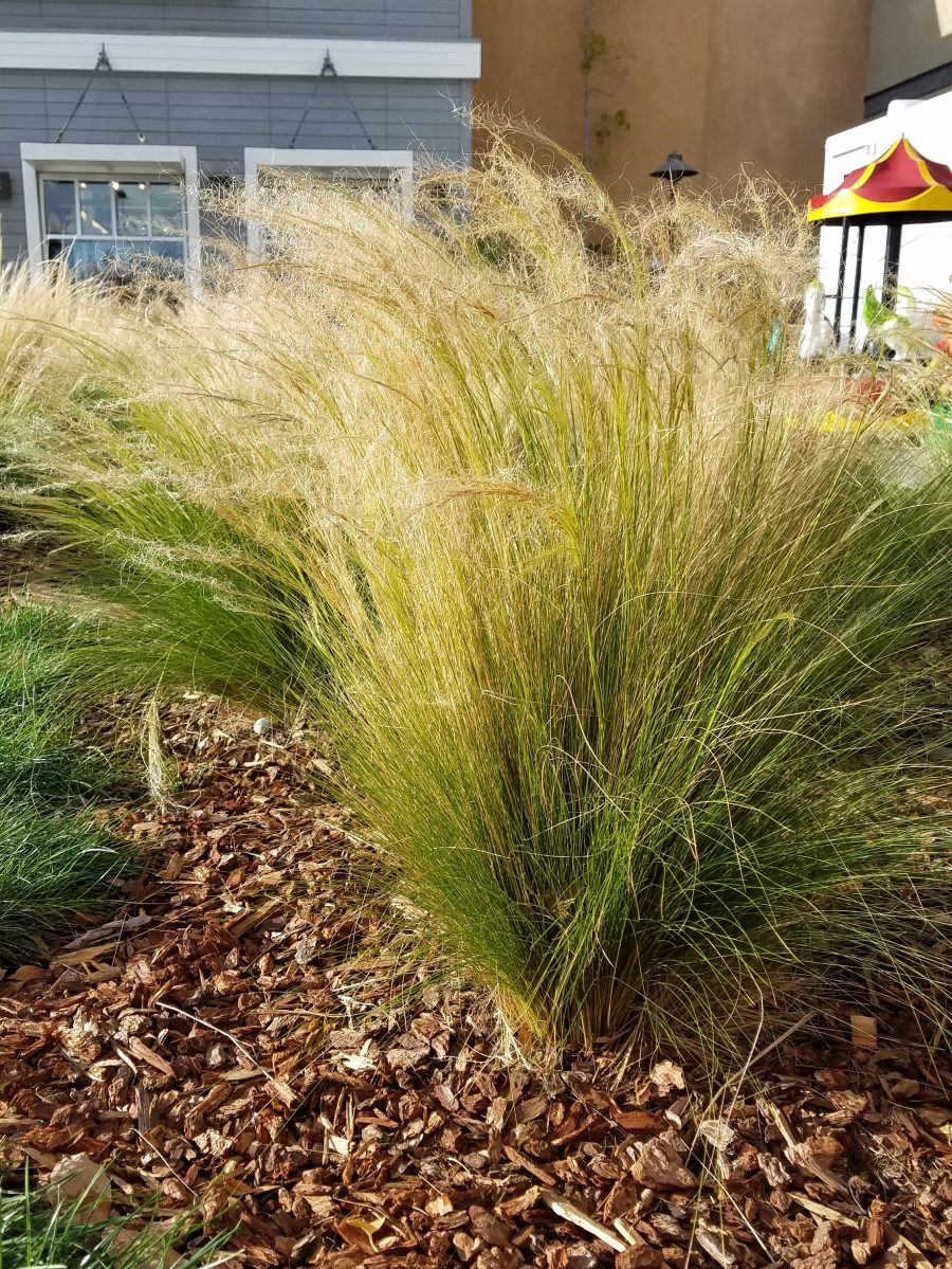 Stipa tenuissima - Mexican feathergrass