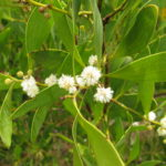 Blackwood acacia (Acacia melanoxylon)
