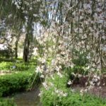 Retama monosperma Bridal veil broom