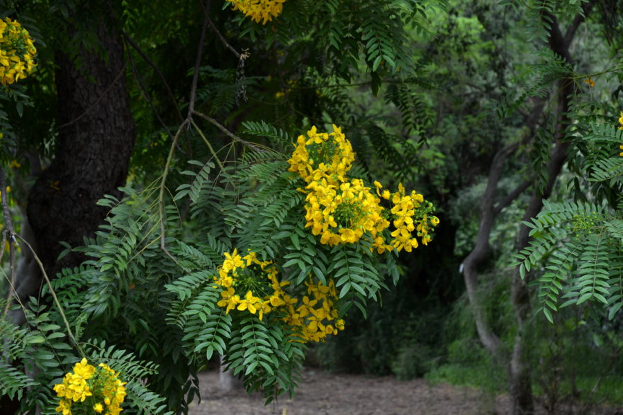 Cassia leptophylla