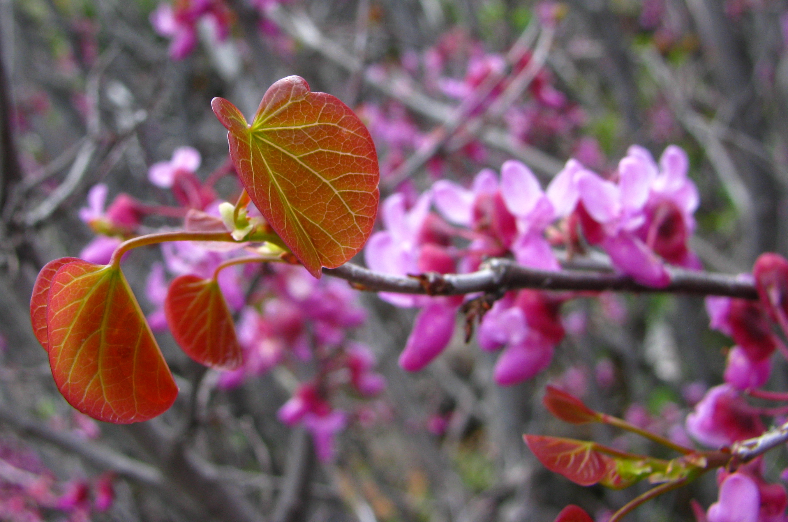 Cercis occidentalis Western redbud
