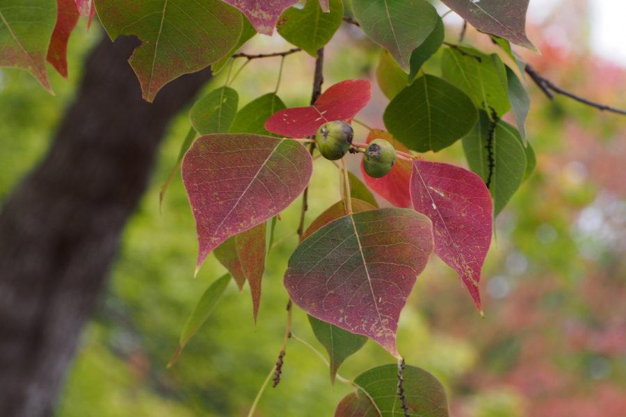 Triadica sebifera Chinese tallow tree