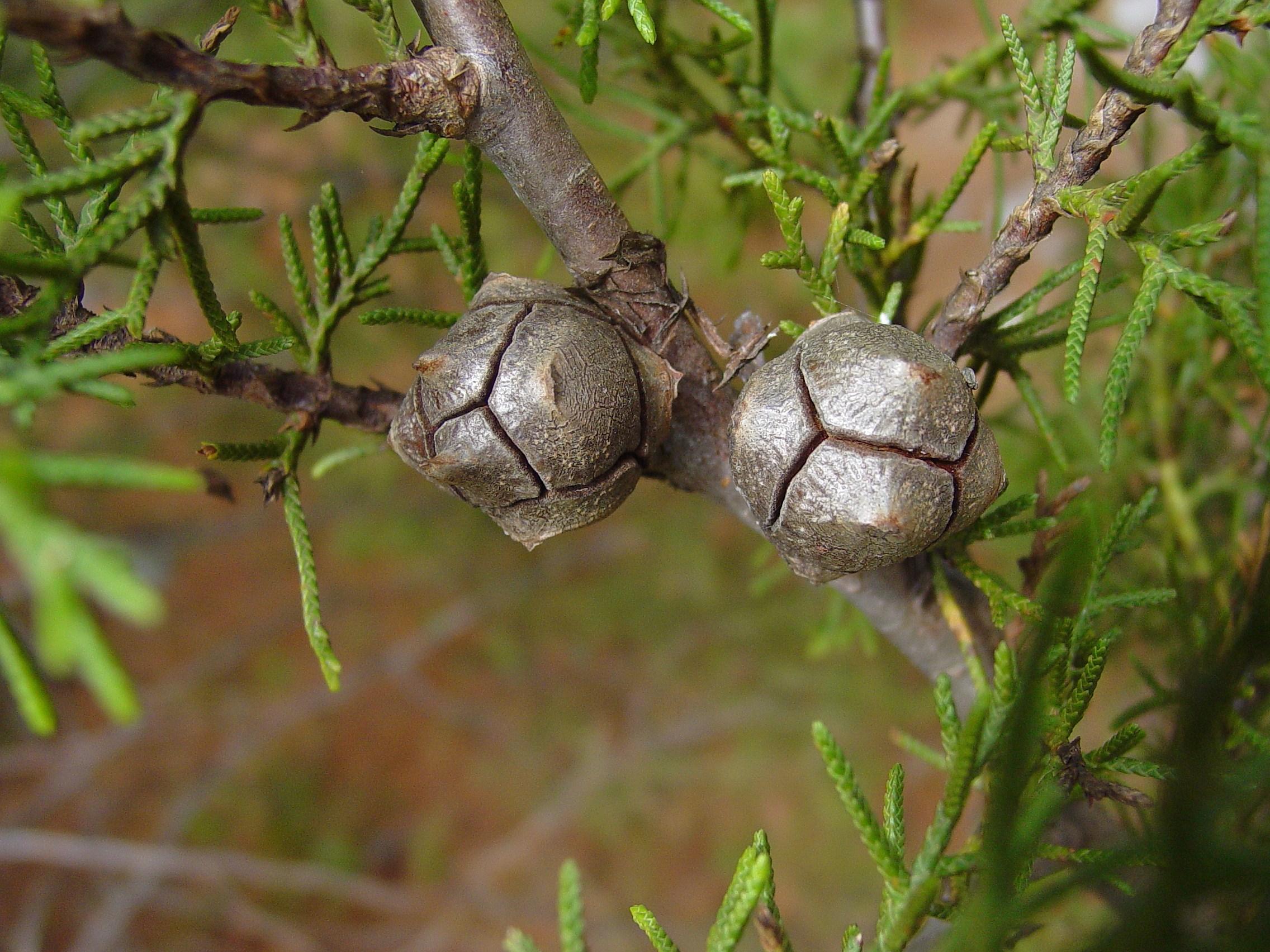Cupressa arizonica