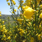 Cytisus scoparius Scotch Broom
