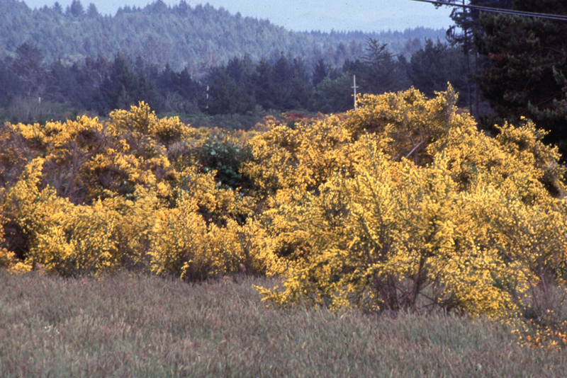 Cytisus scoparius in field