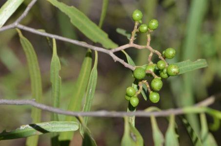 Geijeria parviflora
