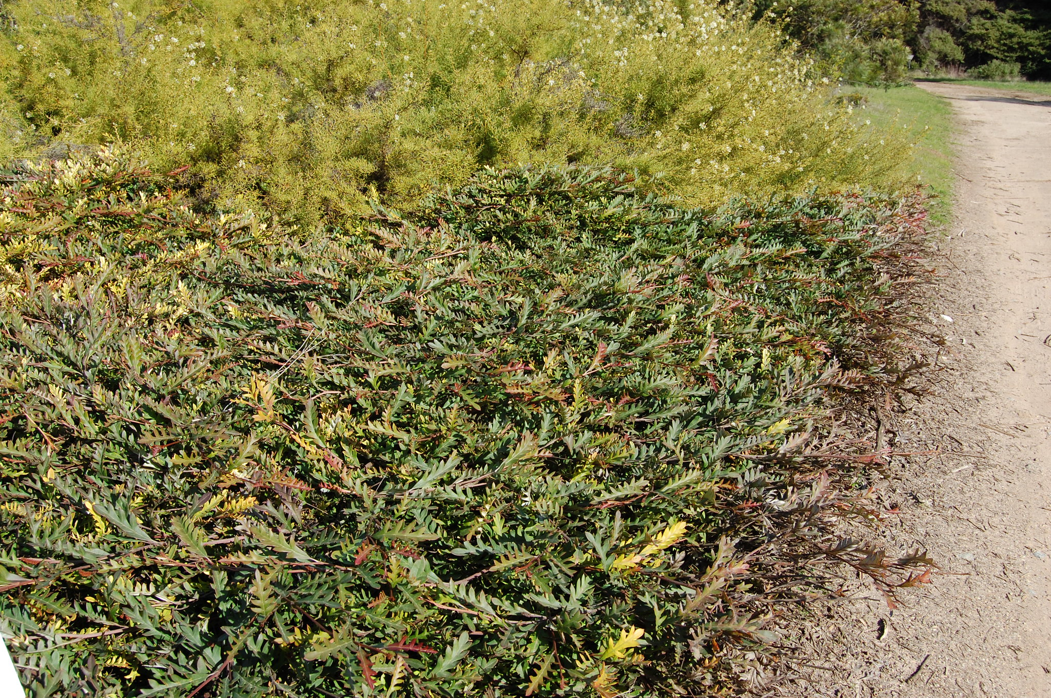 Groundcover plant