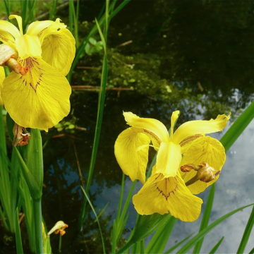 Yellow flag iris (Iris pseudacorus) for sale at a nursery