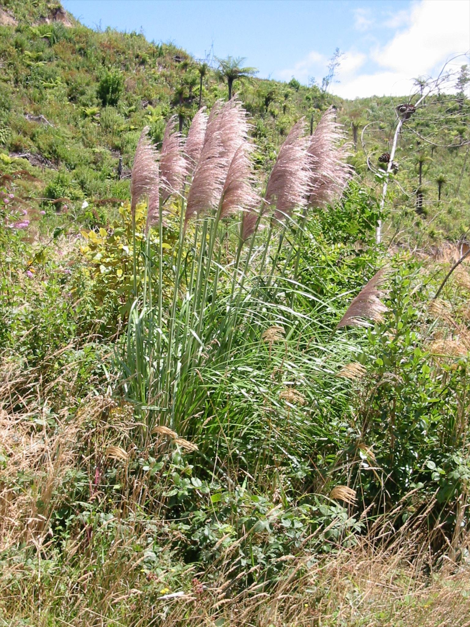 Cortaderia jubata Jubata grass