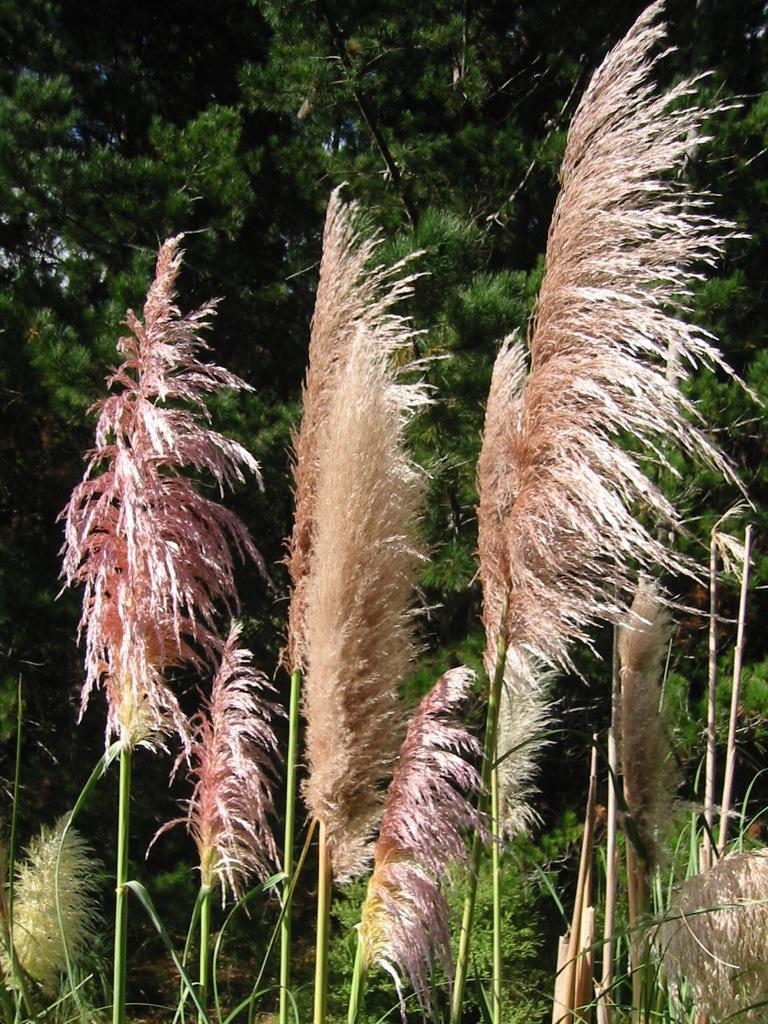 Cortaderia jubata (Jubata grass)