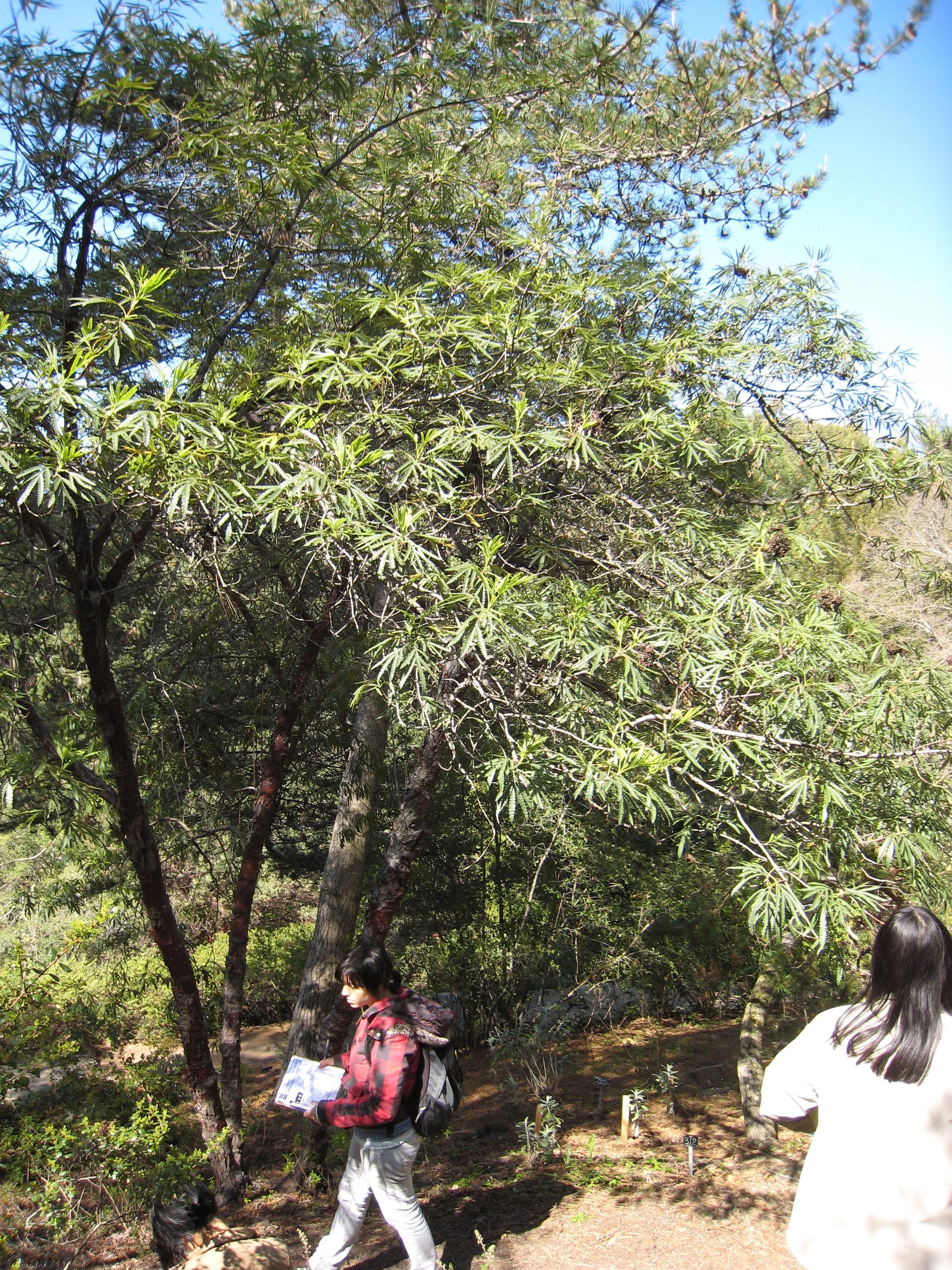 Lyonothamnus floribundus ssp asplenifolius
