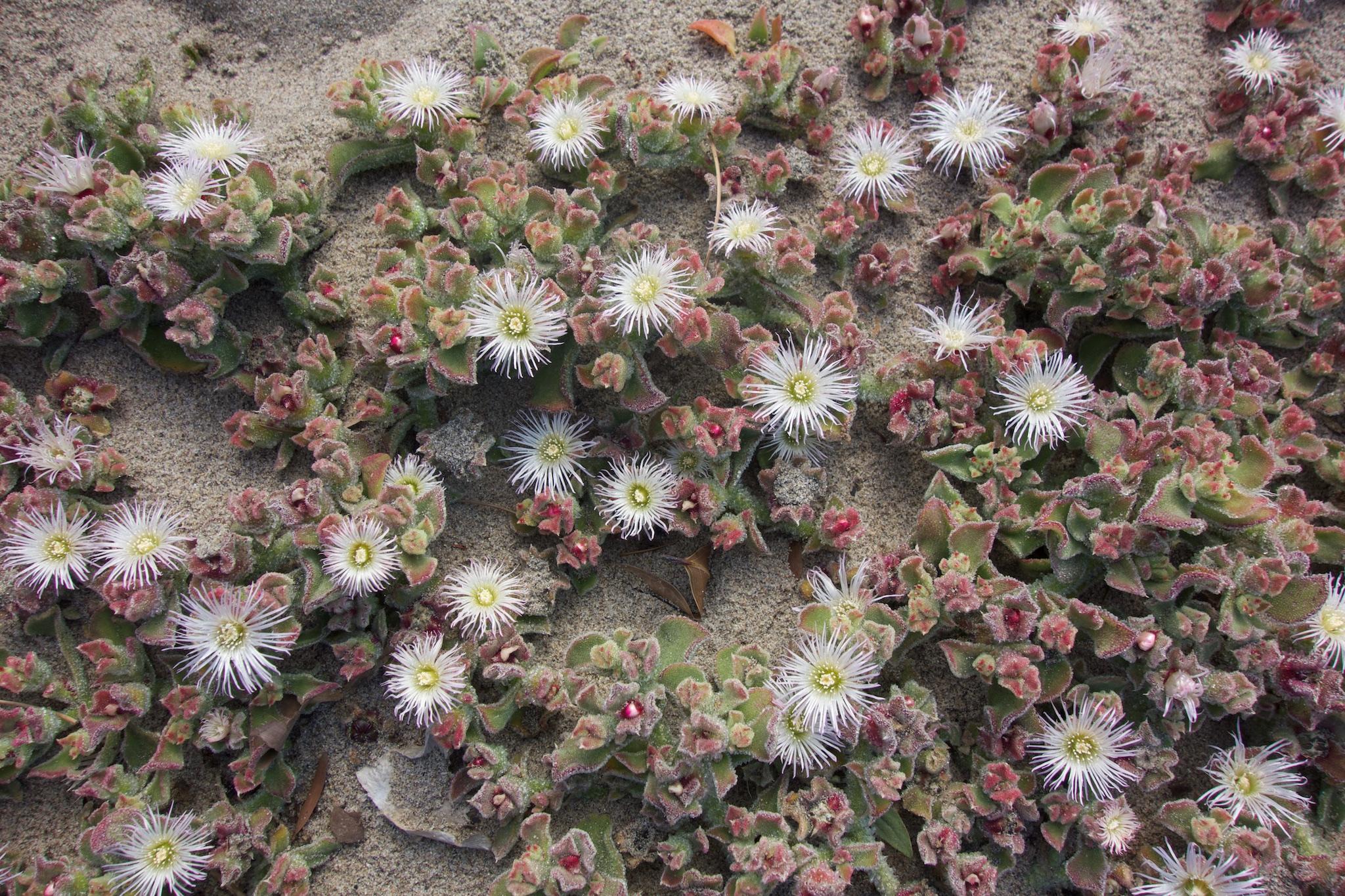 mesembryanthemum crystallinum  u2013 plantright