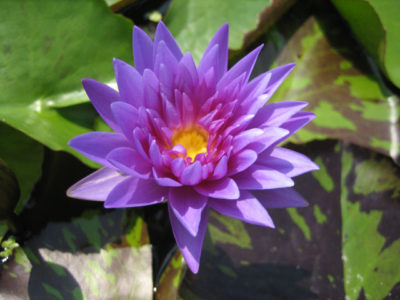 Nymphaea 'King of Siam'