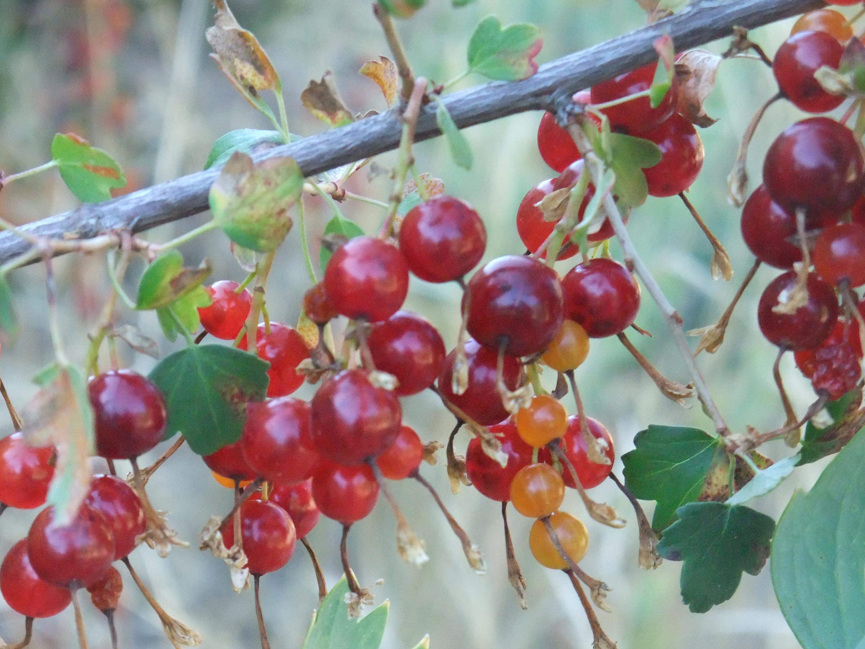 Ribes aureum