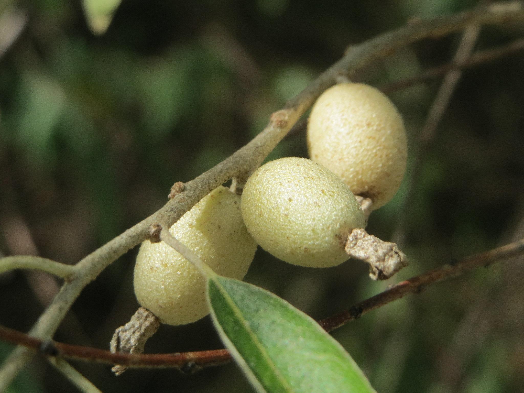 Elaeagnus angustifolia Russian Olive