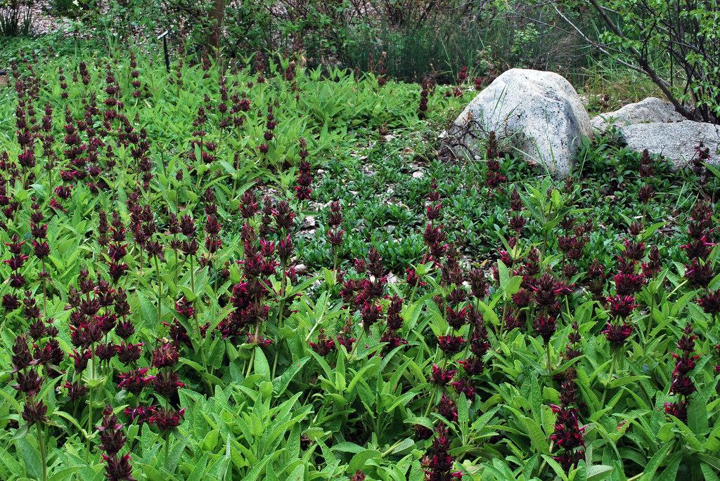 Salvia spathacea