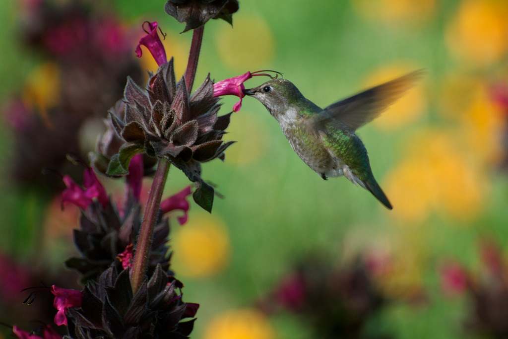 Salvia spathacea and humminbird