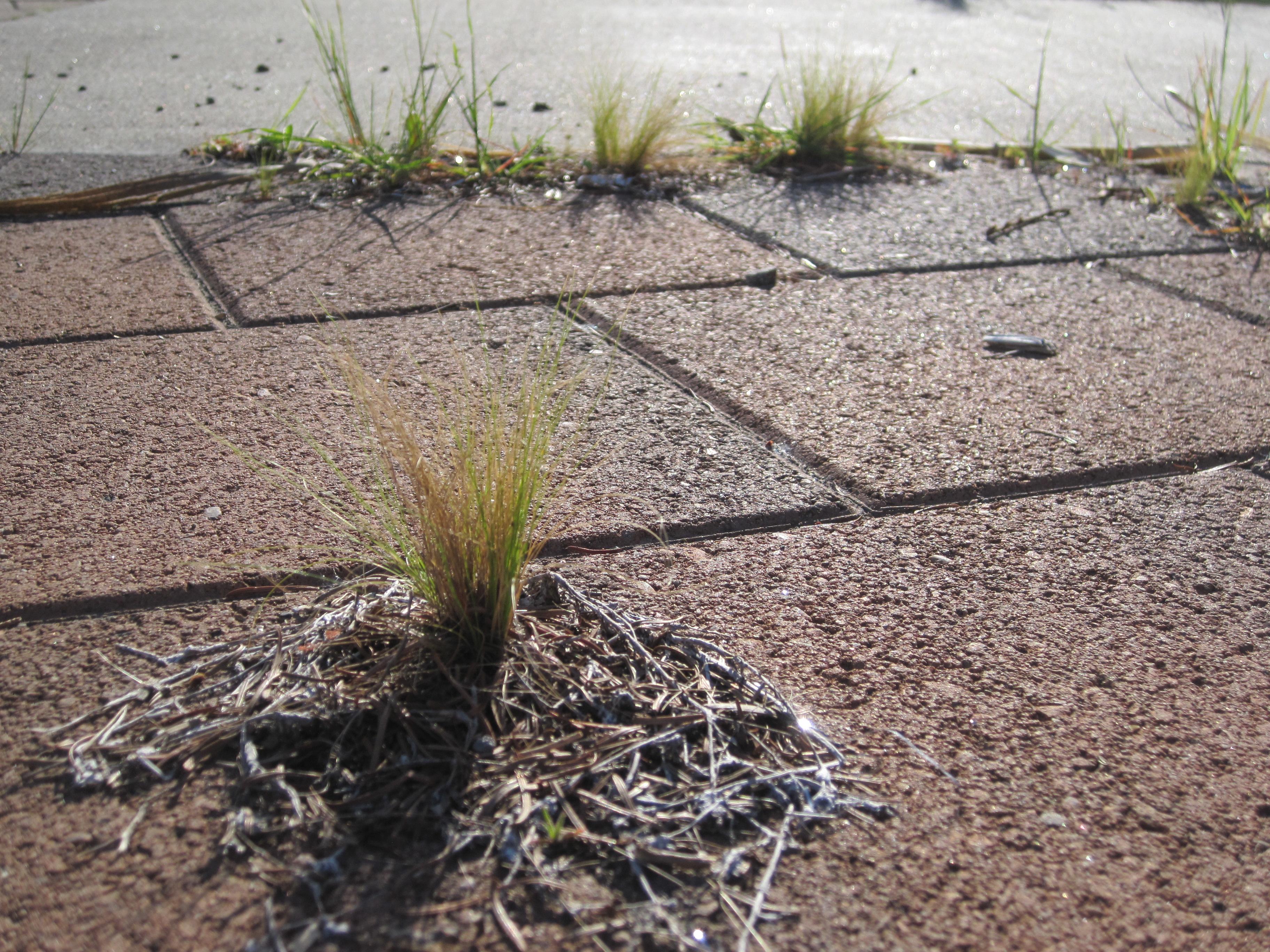 Mexican feathergrass (Stipa/Nassella tenuissima)