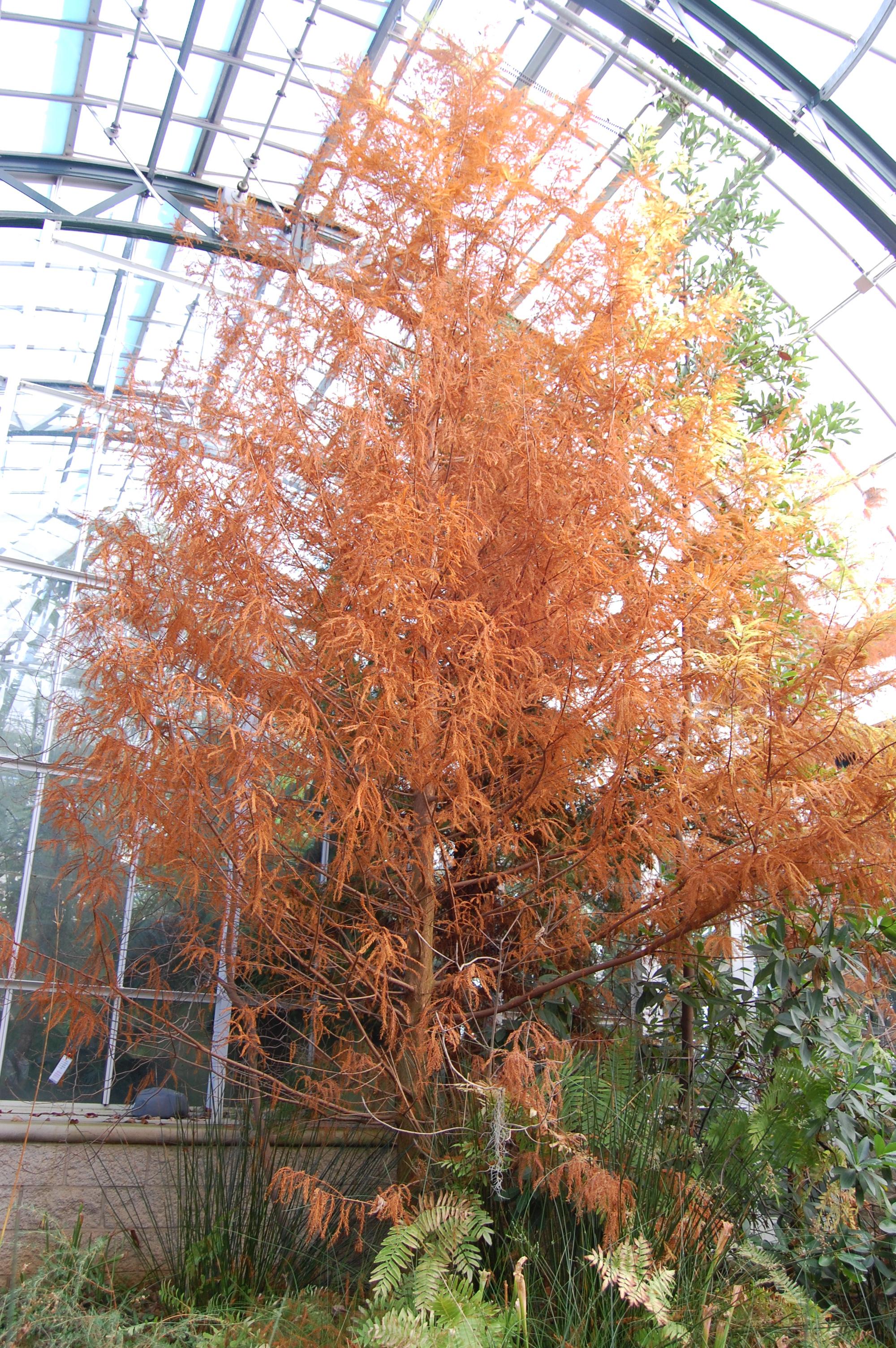 Taxodium distichium