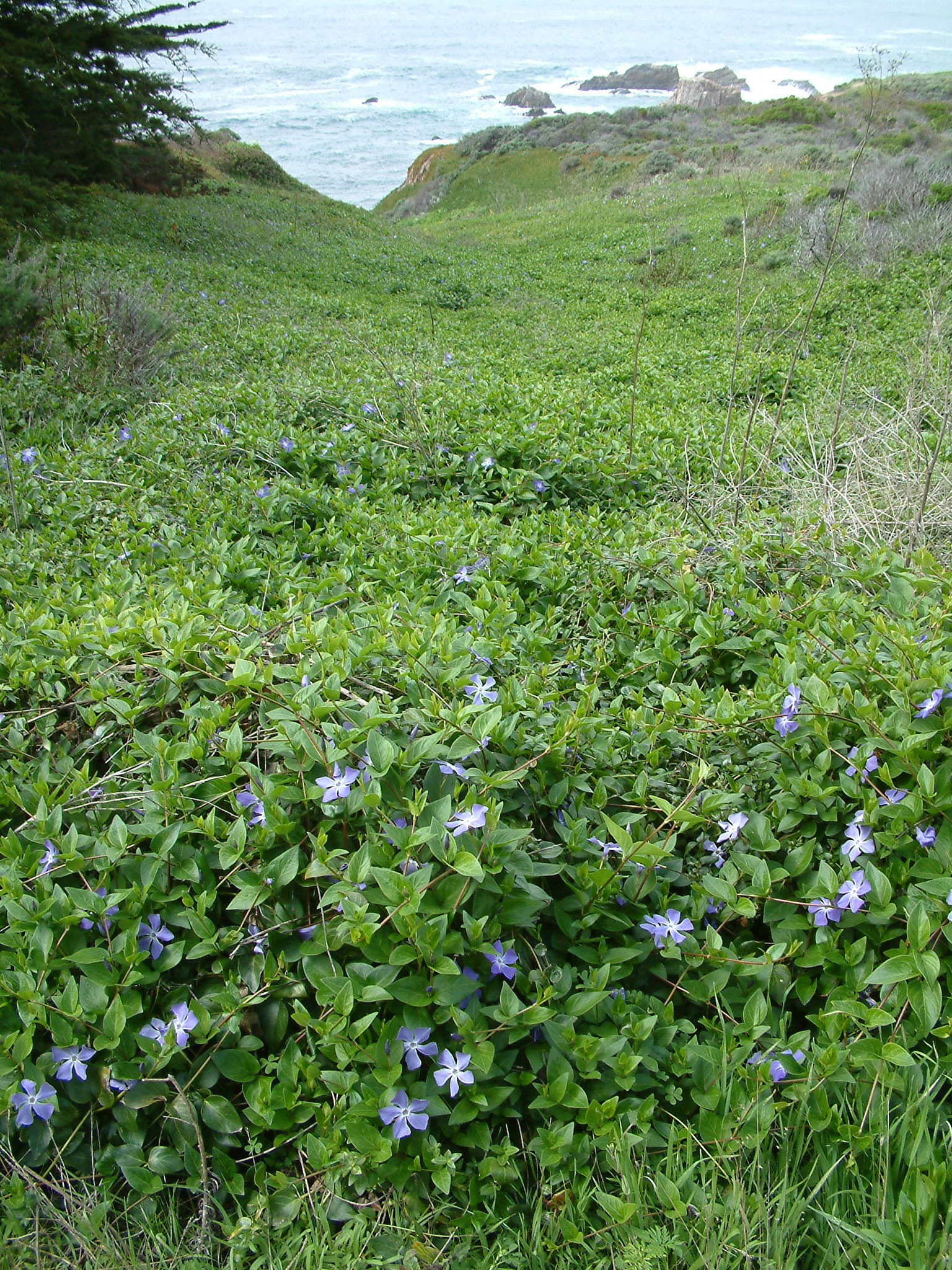 Big-leaf periwinkle (Vinca major) invasion Garrapata State Park
