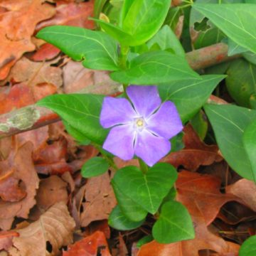 Big-leaf periwinkle (Vinca major) close up flower