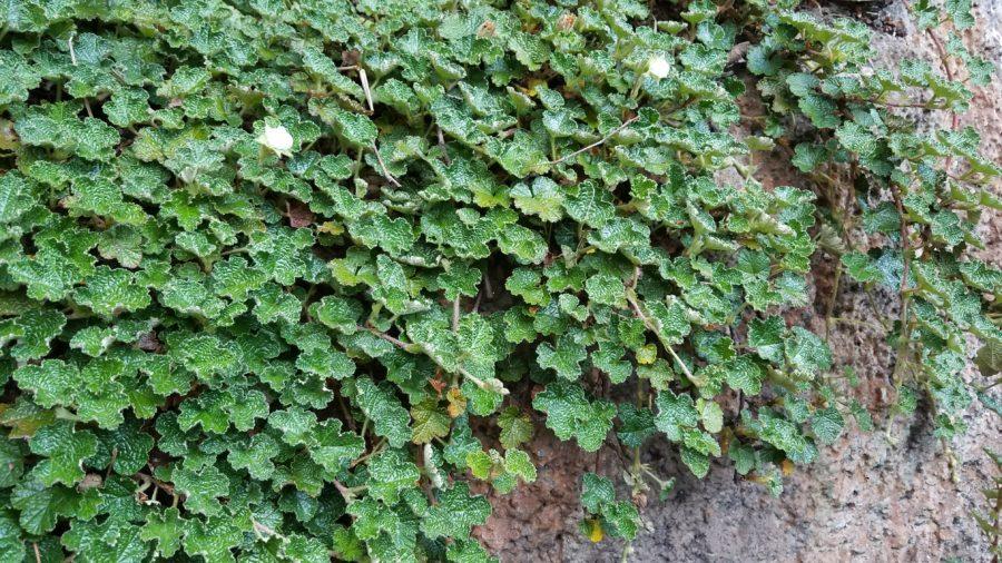 Rubus pentalobus