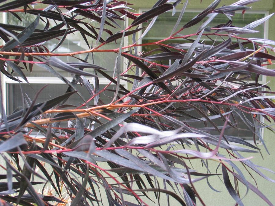 Agonis flexuosa 'Jervis Bay Afterdark'