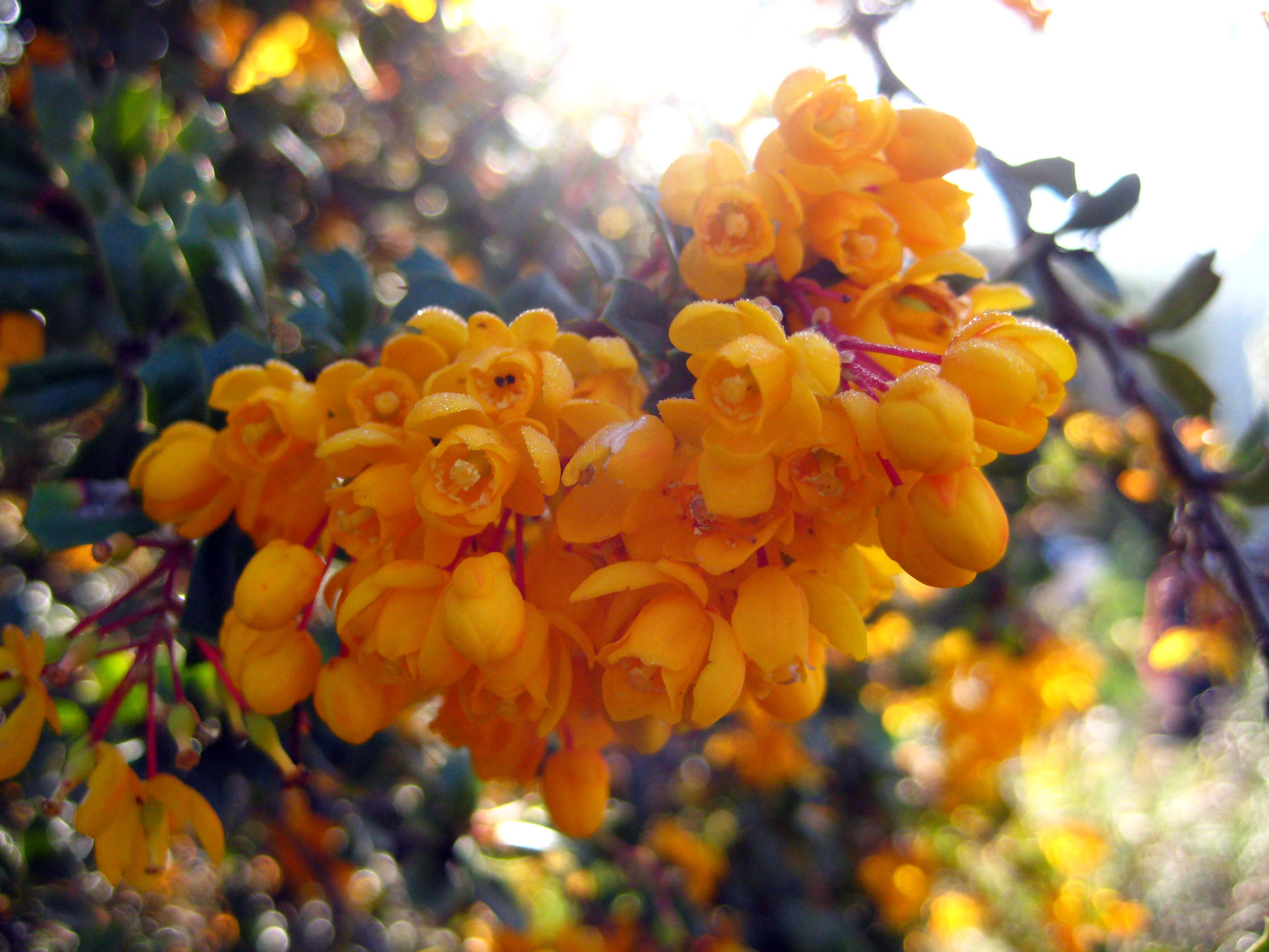 Darwin's barberry (Berberis darwinii) flowers