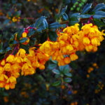 Darwin's barberry (Berberis darwinii) flowers
