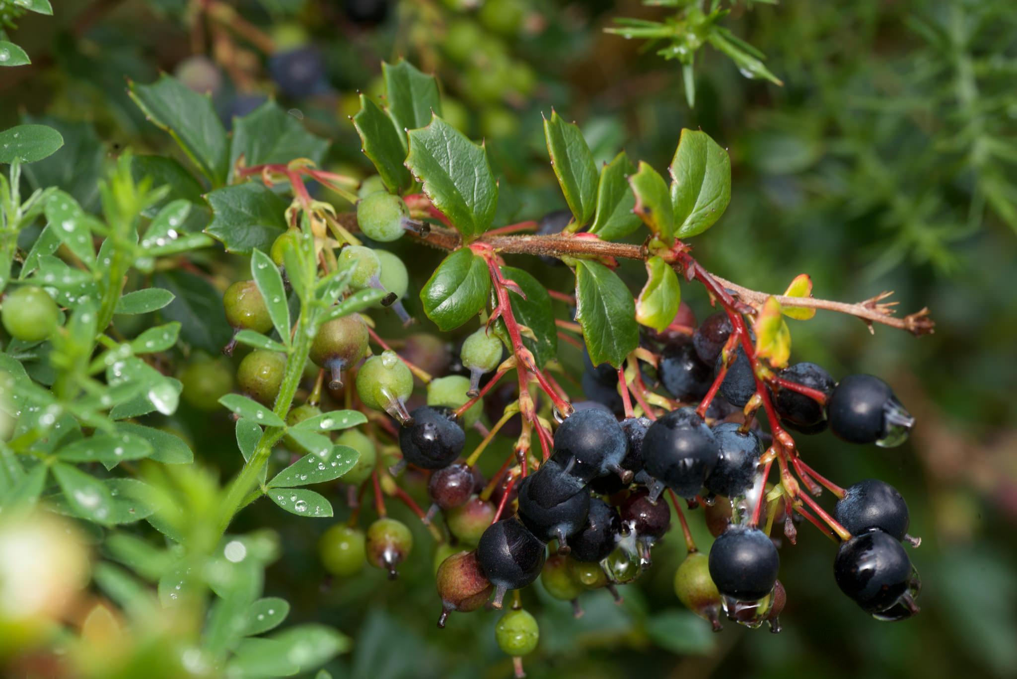 Darwin's barberry (Berberis darwinii) fruit