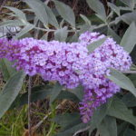 Butterfly bush (Buddleja davidii) flowers close up