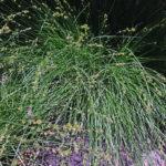 Grassland sedge (Carex divulsa)
