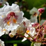 Southern catalpa (Catalpa bignonoides) flowers