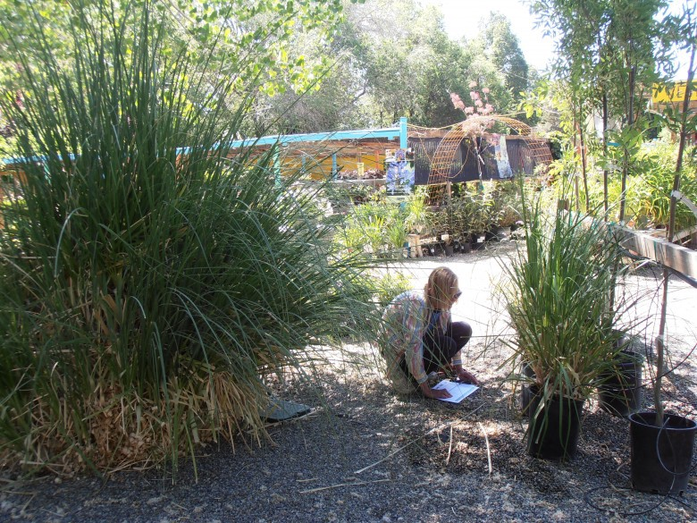 Survey volunteer with pampas grass