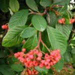 Parney's cotoneaster (Cotoneaster lacteus)