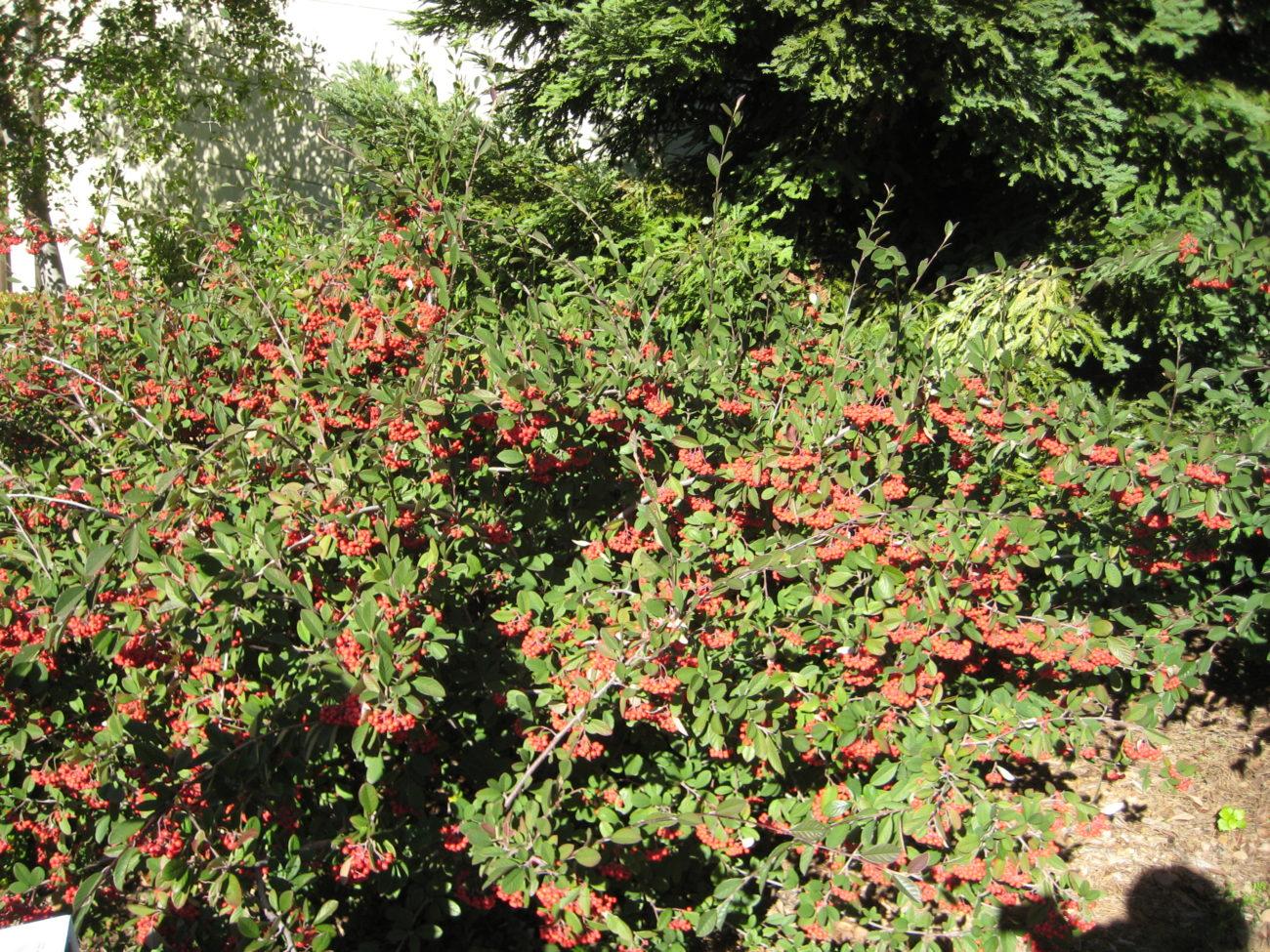 Cotoneaster lacteus - PlantRight