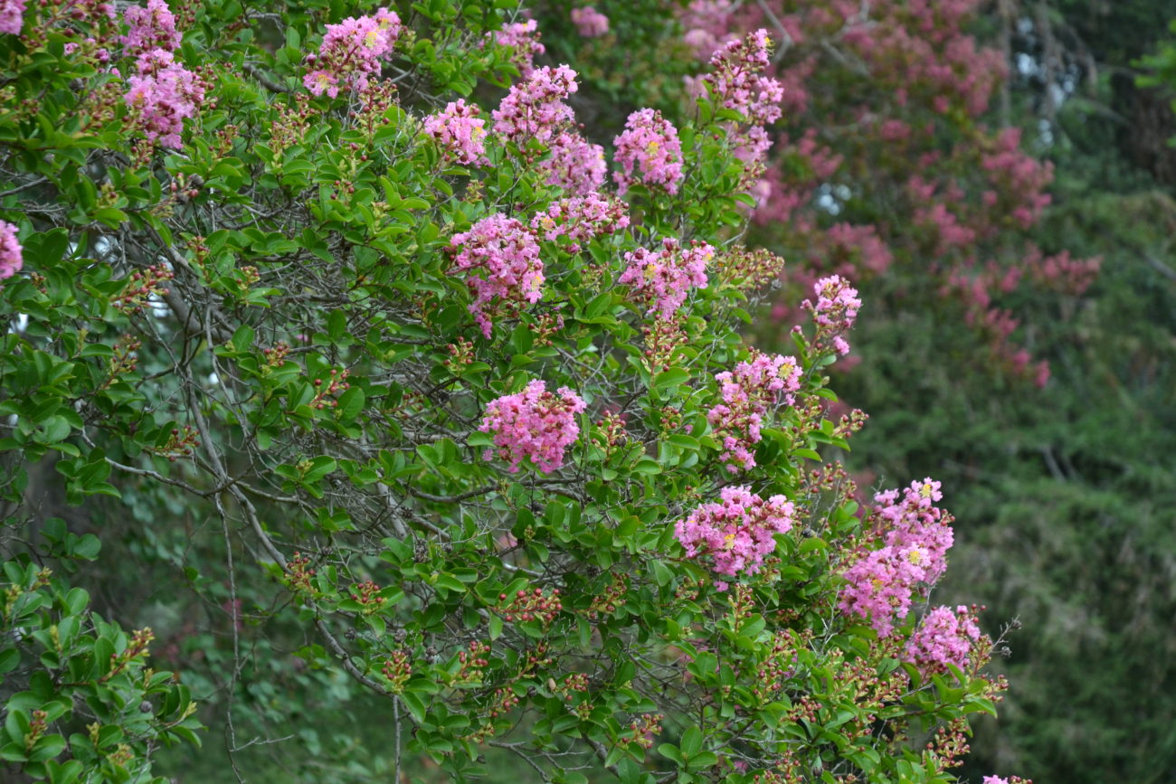 Lagerstroemia Hybrids Plantright